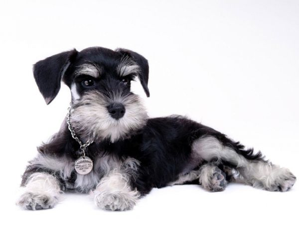 雪纳瑞犬_白色雪纳瑞犬_雪纳瑞犬